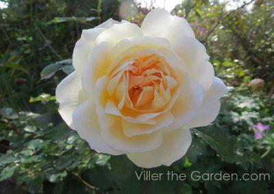 rosa-gruss-an-aachen-in-october