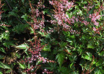 Astilbe-simplicifolia-Inshriach-Pink