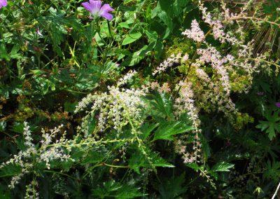 Astilbe-simplicifolia-Sprite