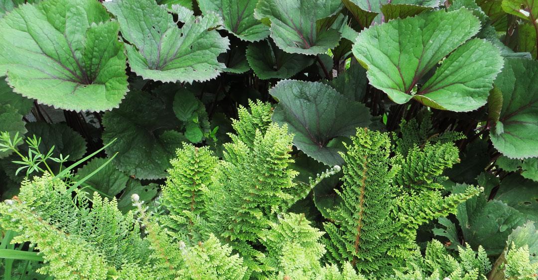 Tank Garden Fern and Ligularia