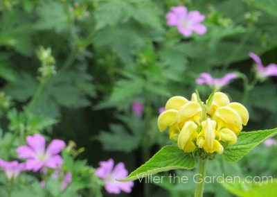 phlomis-and-geranium