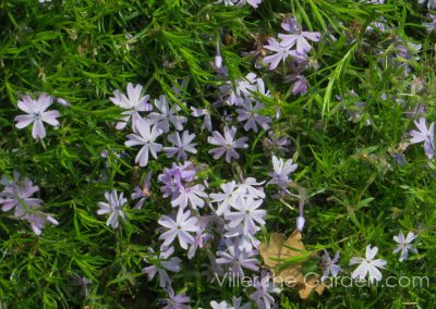 phlox-subulata-candy-stripe