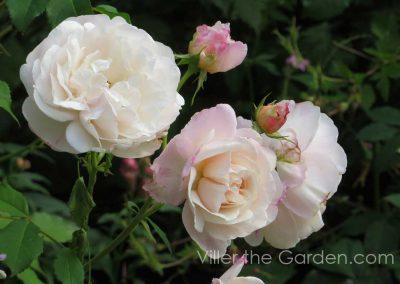 rosa-gruss-an-aachen