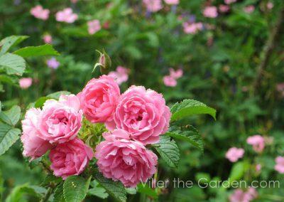 rosa-pink-grootendorst