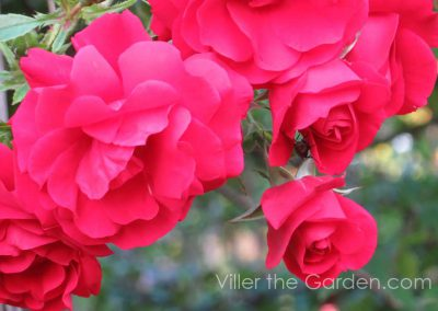 rosa-tradition95