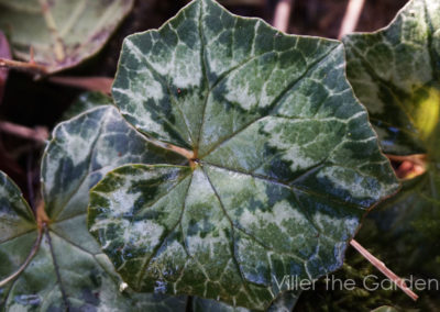 cyclamen-hederifolium
