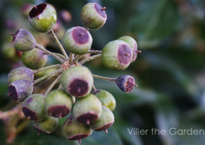 fruit-hedera