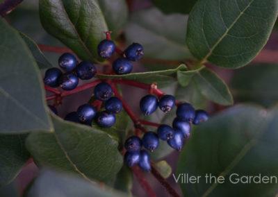 viburnum-tinus-gwenllian
